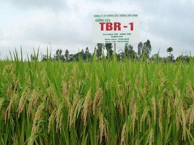 ThaiBinh Seed - Giống lúa thuần TBR-1   Năng suất cao - Thích ứng rộng